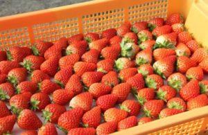 紅ほっぺ,苺,いちご,イチゴ